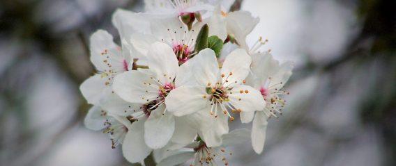Kirschblüte in der Fränk. Schweiz